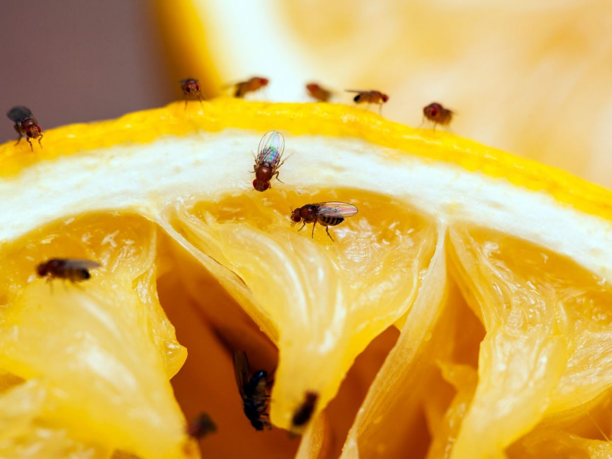 2 Ways to Get Rid of Fruit Flies
